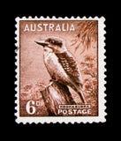 Kookaburra Dacelo novaeguineae, Zoologiczny seria około 1956, Obrazy Stock
