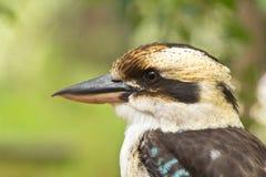Kookaburra de risa Fotos de archivo libres de regalías
