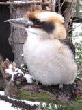 Kookaburra de riso Imagem de Stock