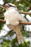 Kookaburra - debajo de la derecha fotos de archivo