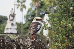Kookaburra del cimitero Fotografia Stock