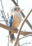Kookaburra di risata Immagine Stock