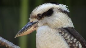 Kookaburra di risata archivi video