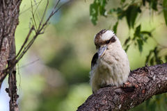 Kookaburra di risata australiano Fotografia Stock