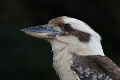 Kookaburra di risata dell'uccello della Nuova Guinea e dell'australiano Fotografia Stock