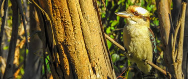 Kookaburra di risata in halcyonidae di novaeguineae di un Dacelo dell'albero Fotografia Stock Libera da Diritti