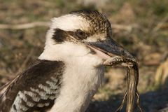 Kookaburra eatting lizard 2 Stock Photos