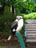 Kookaburra, een vogel Stock Foto's