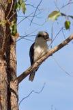 Kookaburra em uma árvore fotos de stock