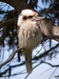 Kookaburra en árbol Fotos de archivo libres de regalías