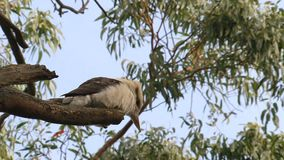 Kookaburra en el interior de Australia metrajes