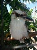 Kookaburra en un árbol Imágenes de archivo libres de regalías