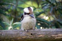 Kookaburra est symbole de l'Australie Photographie stock