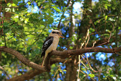 Kookaburra in eucalyptusboom royalty-vrije stock foto