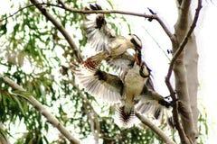 Free Kookaburra Fighting In Tree Stock Photo - 85165380