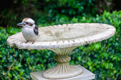 Kookaburra on a fountain. Royalty Free Stock Images