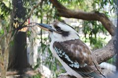 Kookaburra. Is a genus that includes four species of great kingfishers, living in Australia and New Guinea. They are well-known for their songs, which are very Royalty Free Stock Photography