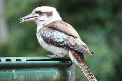 Kookaburra hambriento Imagen de archivo libre de regalías
