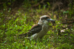 KookaburrA 2. Here is an image of a Kookaburra hunting for food Stock Images
