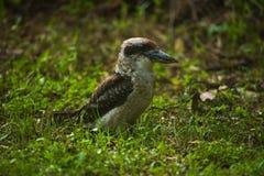 KookaburrA. Here is an image of a Kookaburra hunting for food Stock Images