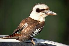 Kookaburra, het Lachen Kookaburra, Dacelo-novaeguineae royalty-vrije stock afbeeldingen
