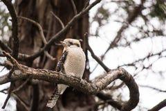 Kookaburra het ontspannen in boom stock fotografie