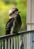 Kookaburra. Jarvis Bay. Australia. Stock Photography