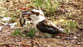 Kookaburra Killing Bird. Kookaburras eat a range of prey, including small reptiles such as lizards and snakes, insects, worms, snails, frogs, rodents and even royalty free stock photography
