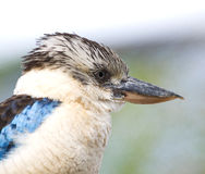 Kookaburra kingfisher bird - Dacelo leachii Stock Photography