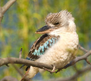 Kookaburra kingfisher - Dacelo leachii Royalty Free Stock Photography