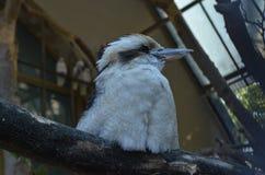 This bird is the kookaburra. Kookaburras are terrestrial tree kingfishers of the Genus Dacelo Stock Photo