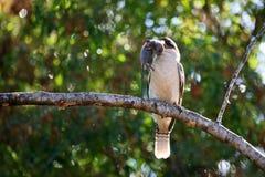 Kookaburra met muis Royalty-vrije Stock Afbeelding