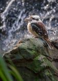 Kookaburra met Waterval Royalty-vrije Stock Foto