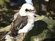 Kookaburra natale australiano Fotografia Stock Libera da Diritti