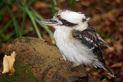 Kookaburra natale australiano immagine stock libera da diritti