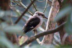 Kookaburra. A Kookaburra at National Rohdendron gardens, In Victoria Australia Stock Photography