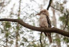 Kookaburra - native Australian bird. Beautiful portrait of Kookaburra - native Australian bird stock photo