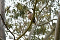 Kookaburra in nature. Australian native bird Kookaburra looking down the camera Stock Image