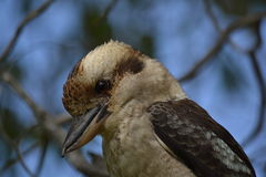 Kookaburra nel parco nazionale di Yanchep, Perth Immagine Stock Libera da Diritti