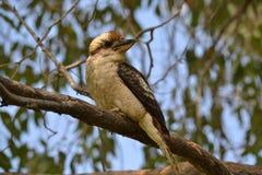 Kookaburra nel parco nazionale di Yanchep, Perth Fotografia Stock Libera da Diritti