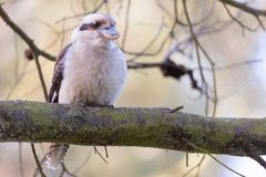 Kookaburra perched on a large tree branch stock photo