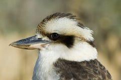 Kookaburra - novaeguineae Dacelo Royalty-vrije Stock Foto's