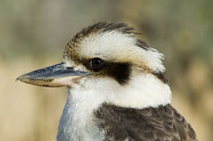 Kookaburra - novaeguineae de Dacelo Photos libres de droits