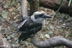 Kookaburra obsiadanie na gałąź Obrazy Stock
