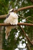 Kookaburra - onder linkerzijde Stock Afbeeldingen