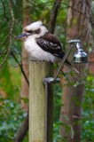 Kookaburra op Aussie Bush Shower Royalty-vrije Stock Foto