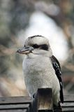 Kookaburra op toppositie Royalty-vrije Stock Afbeelding