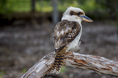 Kookaburra. Our amazing and beautiful Kingfisher the Kookaburra Royalty Free Stock Image