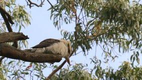 Kookaburra in the Outback of Australia stock footage