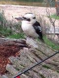 Kookaburra Royalty Free Stock Photos
